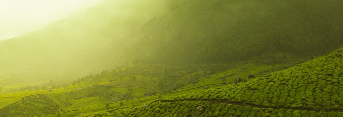 GEMAGA tea fields
